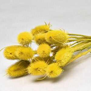 Cardoon Thistle, Yellow