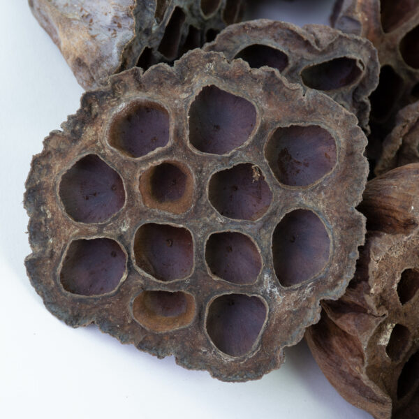 This image shows a lotus seed head on a white background