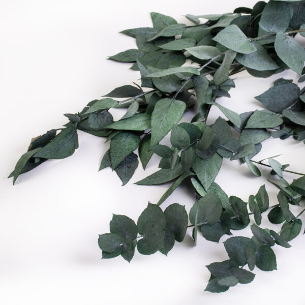This image shows a bunch of green eucaluptus Stuartiana, against a white background