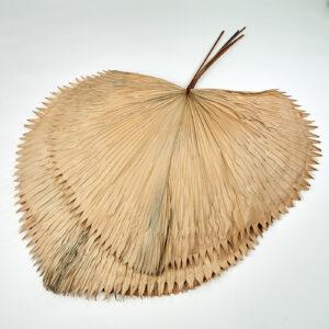 Grandis Fan Palm