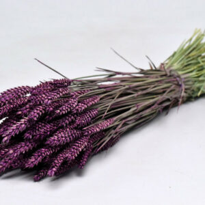 Wheat, Purple Bunch