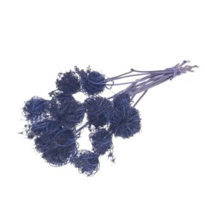 Ammi Majus Dark Blue