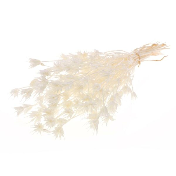 Nigella orientalis bleached white