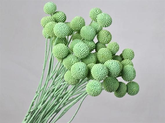 Craspedia Mint Green