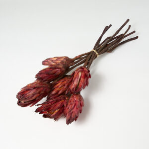 Protea Repens Bordeaux