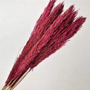 Arundo Pink