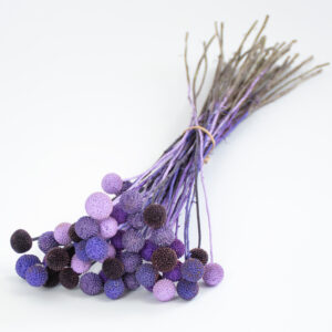 This image shows craspedia purple mix laid out loose on a white background.