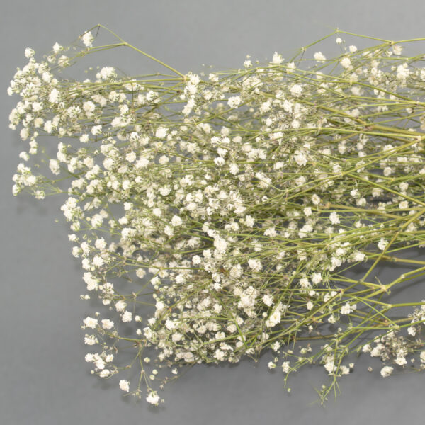 This is an image of a bunch of preserved white gypsophila on a white background.