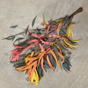 This is an image of a bunch of Eucalyptus Exotica, in 'Tropical Mix' colour. There is a blend of Yellow, Orange, Red and Green foliage that has flowing, tendril-like leaves.
