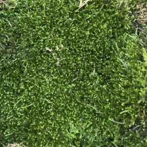 This image shows a close up of a piece of Preserved. Green. Long Moss, that is supplied in a Bulk Box