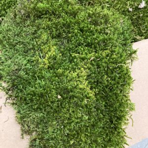 This an image of a close up of a section of Preserved Green Flat Moss, that is supplied in Bulk Box.
