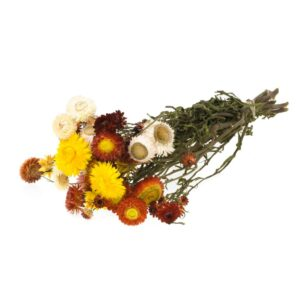 Dried Helichrysum, Mixed Bunch