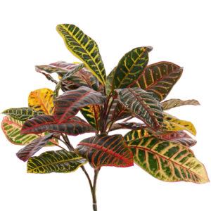 Croton Plant, 24 leaves, 50cm