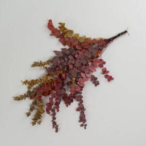 This image shows a bunch of Eucalyptus Stuartiana in Autumnal colours laid on a white background.