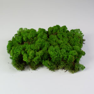 This image shows preserved reindeer moss on a white background.
