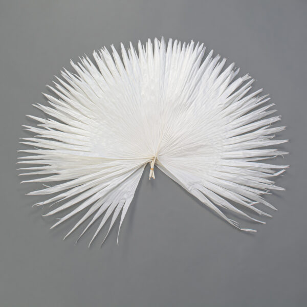 This is an image of a bunch of 5 XXXL bleached white Japanese fan palm