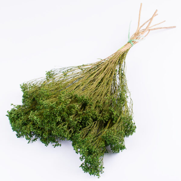 This image shows dried broom bloom in a rich green colour, laid on a white background.