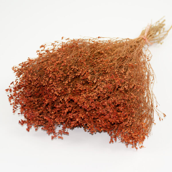 This image shows orange coloured broom bloom, laid upon a white background.