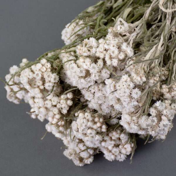 This image shows a bunch of natural white anafalis, laid on a grey background.
