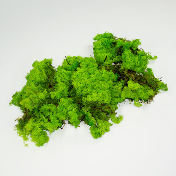 This image shows loose reindeer moss, laid on a white background.