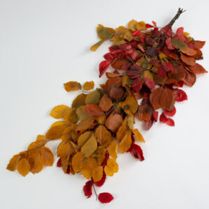 This image shows a bunch of mixed colours of preserved beech tree stems with rich orange leaves, laid on a white background.