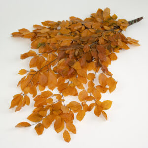 This image shows a bunch of yellow preserved beech tree stems with rich-red leaves, laid on a white background.