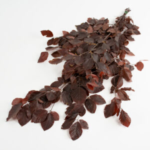 This image shows a bunch of yellow preserved beech tree stems with deep burgundy leaves, laid on a white background.