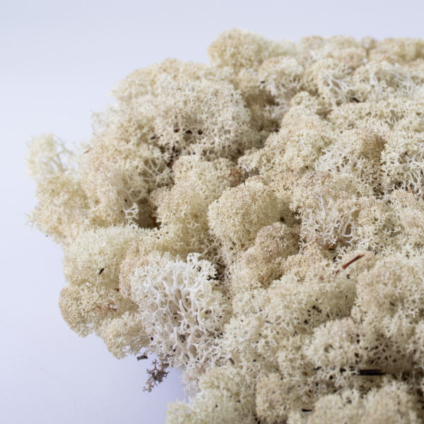 This image shows aclose up of reindeer moss in natural colour.