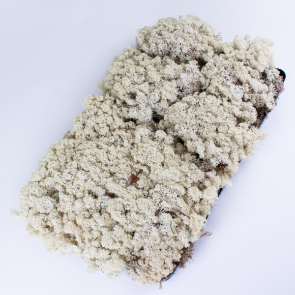 This image shows a 2kg tray of reindeer moss in natural colour.