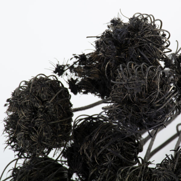 This is an image of a bunch of black painted ammi majus, laid on a white background.
