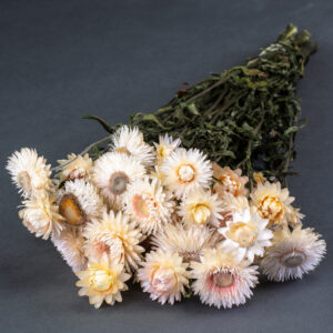 This image shows a bunch of natural cream helichrysum flowers, laid on a grey background