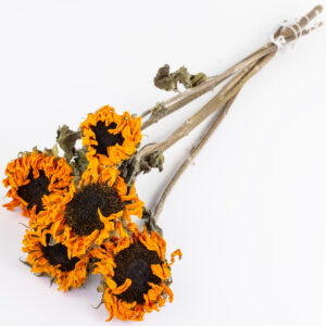 This image shows a bunch of mini dried sunflowers in their natural orange colour, laid on a white background.