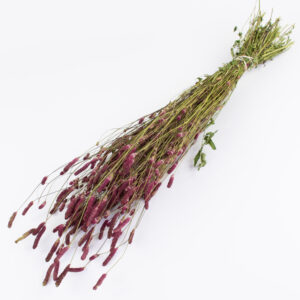 This image shows a bunch of dusky pink Sanguisorba, laid on a white background