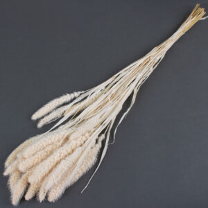 This image shows a bunch of white setaria pendula grass, on a grey background