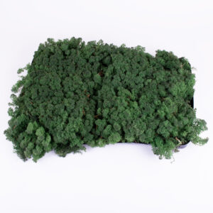 This image shows some dark green reindeer moss, within a tray, against a white background