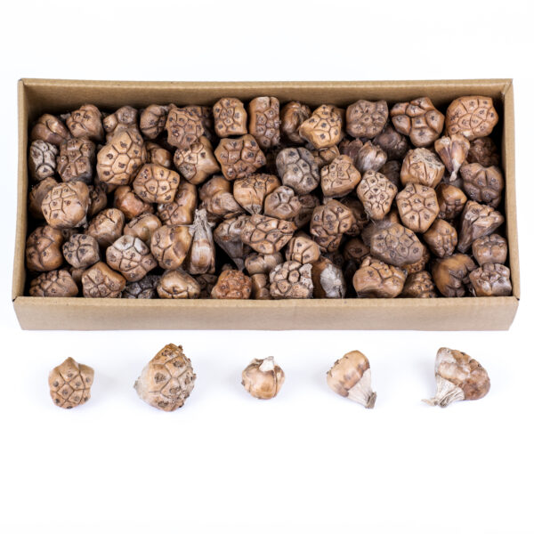 This image shows a box of dried camel fruit against a white background