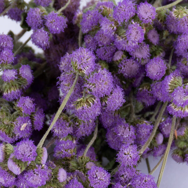 This image shows a bunch of lilac Ageratum against a white background